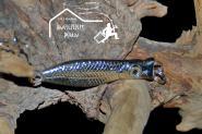 Behr Zocker Artno. 25g - leichten Meeresfischen auf Seelachs und Dorsch
