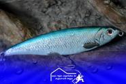 SAVAGE GEAR Horny Herring - Blue Silver - 13g 8cm