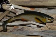 Jackson The Perch 16 cm The Roach  Nature