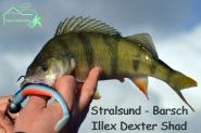 Illex Dexter Shad - Blue & White Orange Belly- 250 -  bei Mäßig trübes bis trübes Wasser